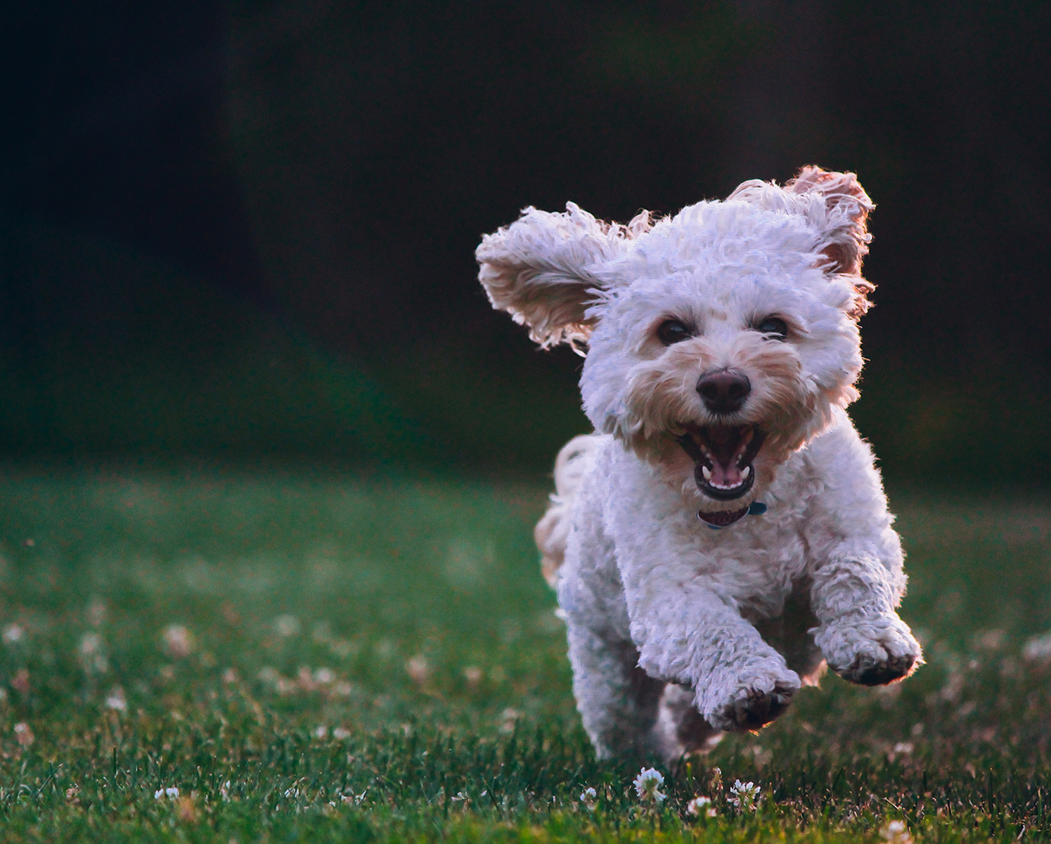 small dog running in clover field