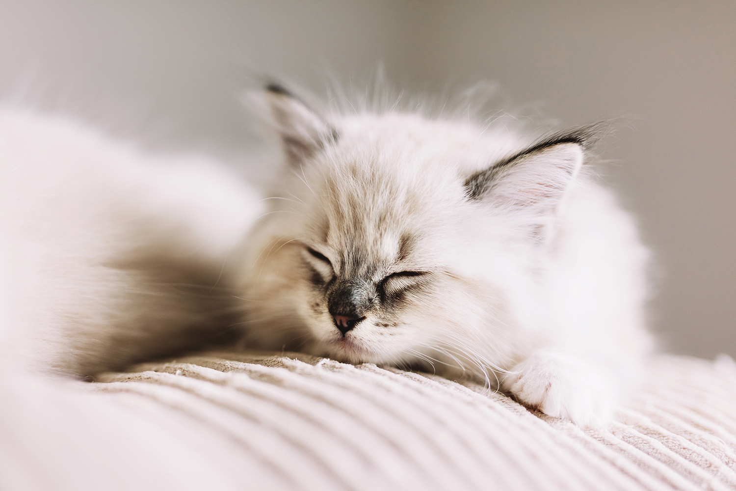 ragdoll kitten asleep on bed